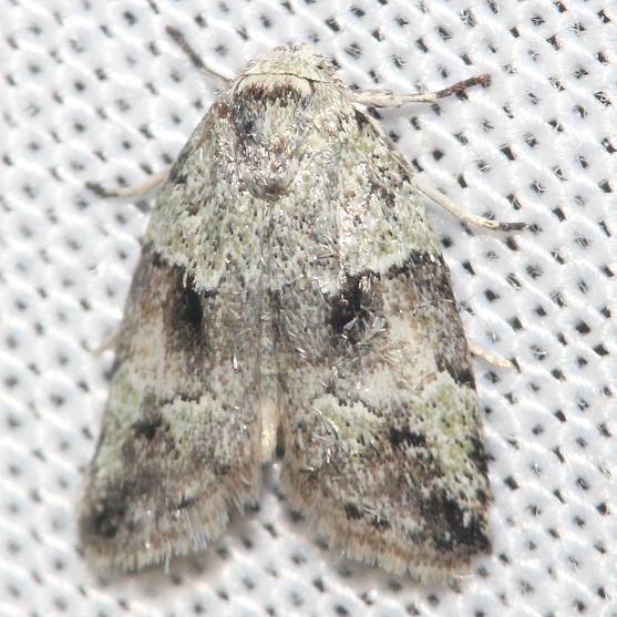 8102 Dyar's Lichen Moth Little Talbot Island St Pk Fl 2-19-13