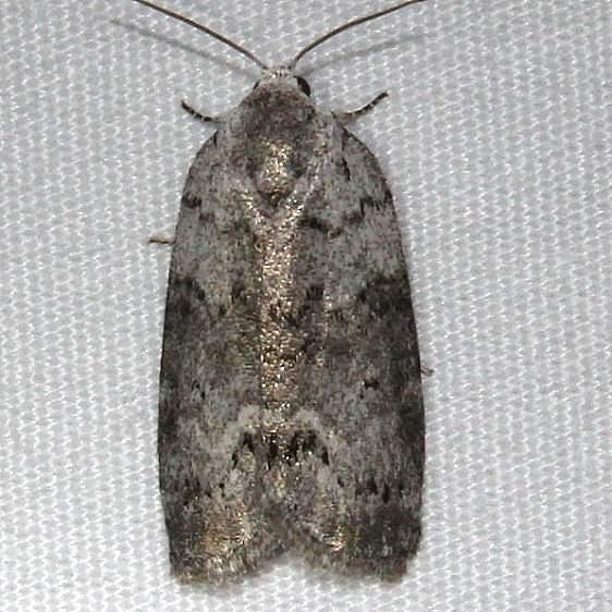 8104 Cadbury's Lichen Moth Ocean Pond Osceolo Natl Frst 3-25-15