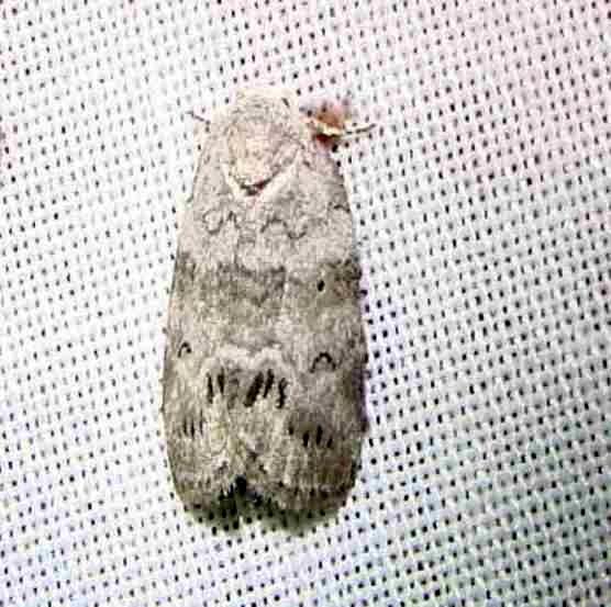 8104 Cadbury's Lichen Moth Payne's Prairie St Pk 3-23-12