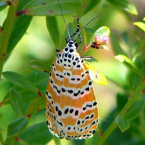 8105 Bella Moth at Kissimmee Prairie St Pk 3-13-11