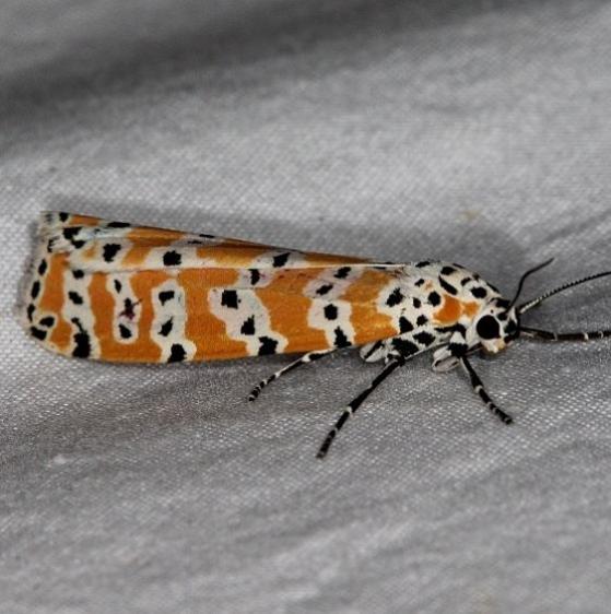 8105 Ornate Bella Moth Jonathon Dickensoen St Pk Fl 3-6-17_opt