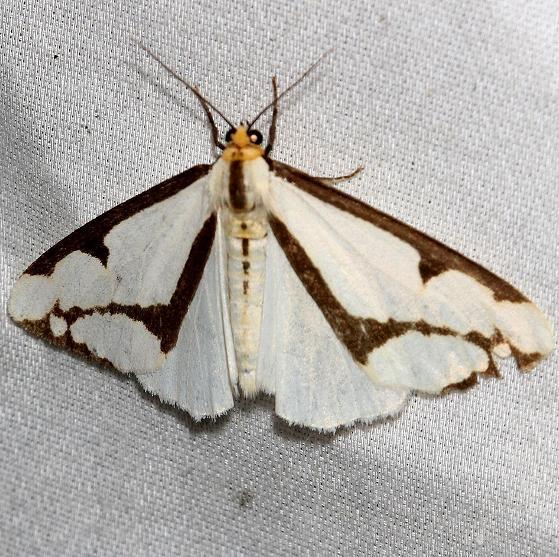 8111 Lecontes Hapola Moth Shivley Fen Logan Co Oh 6-12-12