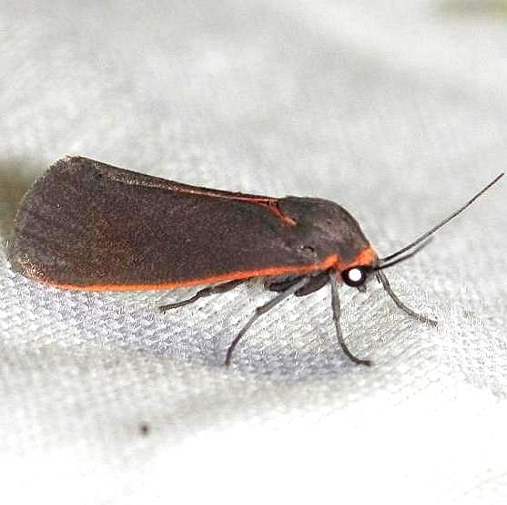 8114 Joyful Holomelina Moth Lake Kissimmee St Pk Fl 2-26-13