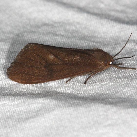 8118 Tawny Holomelina Moth Burr Oak St Pk at cabins Oh 6-27-14