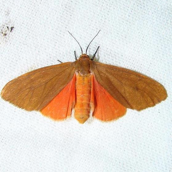 8118 Tawny Holomelina Moth Payne's Prairie St Pk 3-20-12