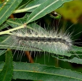 8140 Fall Webworm on Willow at Estelle Wenrick Preserve Clark Co Oh 9-8-14