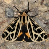 8176 Anna Tiger Moth Copperhead Firetower Shawnee St Forest Oh 6-13-15