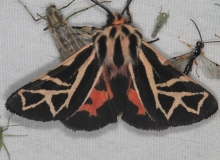8188 Figured Tiger Moth Lake of the Woods Ontario 7-24-16 (26a)_opt