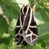 8188 Figured Tiger Moth Moth 5-28-16 (30a)_opt