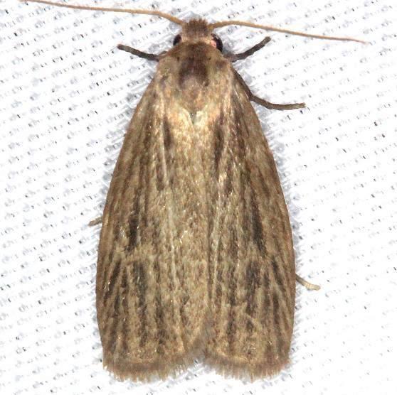 8045.1 Pale Lichen Moth Battelle Darby Pk Ancient Trail Oh 7-25-13