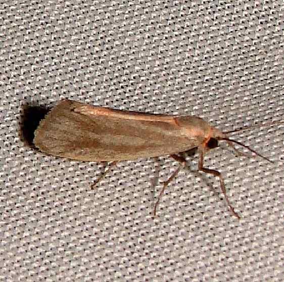 8060 Straited Lichen Moth Gold Head Branch St Pk 2-14-12