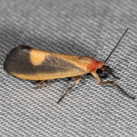 8067 Lead-colored Lichen Moth Wolf's Den Shawnee St Pk 8-7-16 (82a)_opt