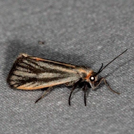 8068 Striated Lichen Moth Little Manetee River St Pk Fl 3-8-15