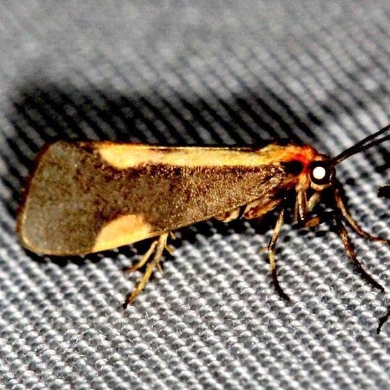 8072 Pachard's Lichen Moth Shawnee St Pk Oh 6-14-13