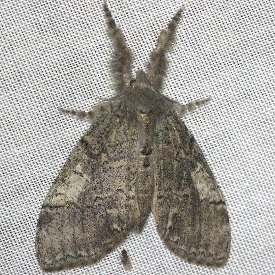 8293 Sharp-lined Tussock Moth Dasychira dorsipennata Shawnee St Pk Oh 6-15-13