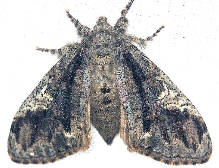 8296 Yellow-based Tussock Moth Shawnee St Pk Oh 6-15-13