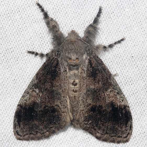 8298 Southern Tussock Moth Dasychira meridionalis dark version Collier Seminole St Pk 2-26-14