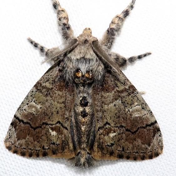 8298 Southern Tussock Moth Kissimmee Prairie St Pk Fl 3-16-13