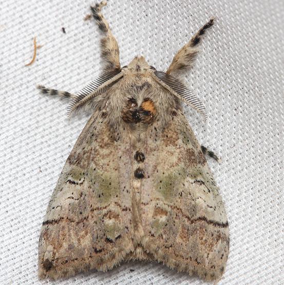 8298 Southern Tussock Moth female Lake Kissimmee St Pk Fl 2-28-13
