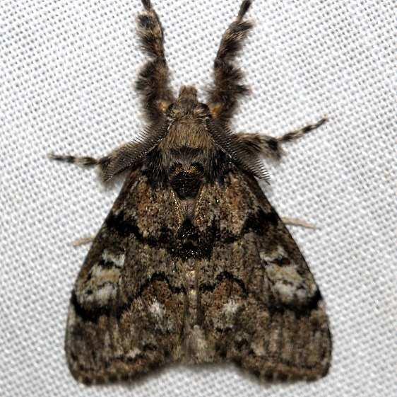 8304 Northern Pine Tussock Moth Thunder Lake UP Mich 6-23-12