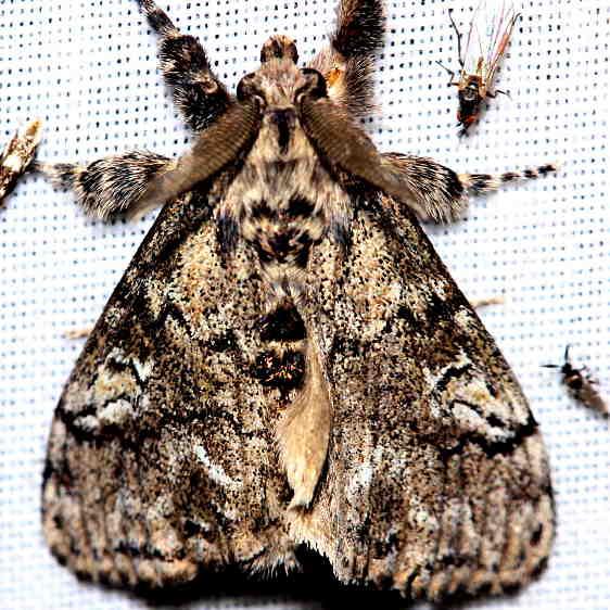 8305 Pine Tussock Moth Thunder Lake UP Mich 6-23-12