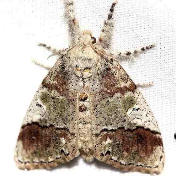 8307 Manto Tussock Moth female Lake Kissimmee St Pk Fl 2-27-13