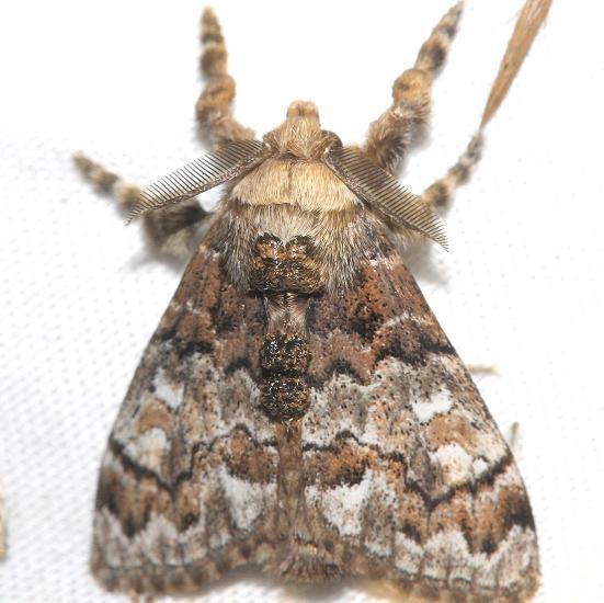 8307 Manto Tussock Moth male Lake Kissimmee St Pk Fl 2-28-13