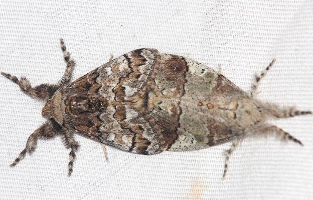 8307 Manto Tussock Moths male left Lake Kissimmee St Pk Fl 2-28-13