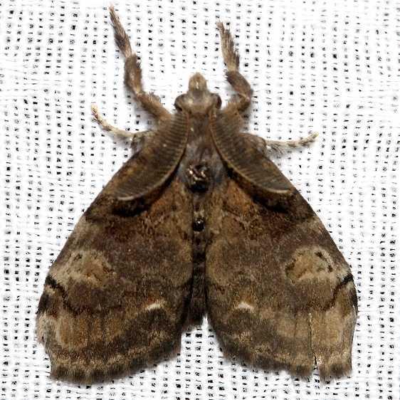 8313 Fir Tussock Moth Kissimmee Prairie St Pk Fl 3-16-13