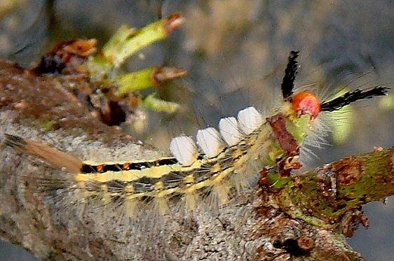 8316 White-marked Tussock Moth Sebenthaler Fen 9-3-10