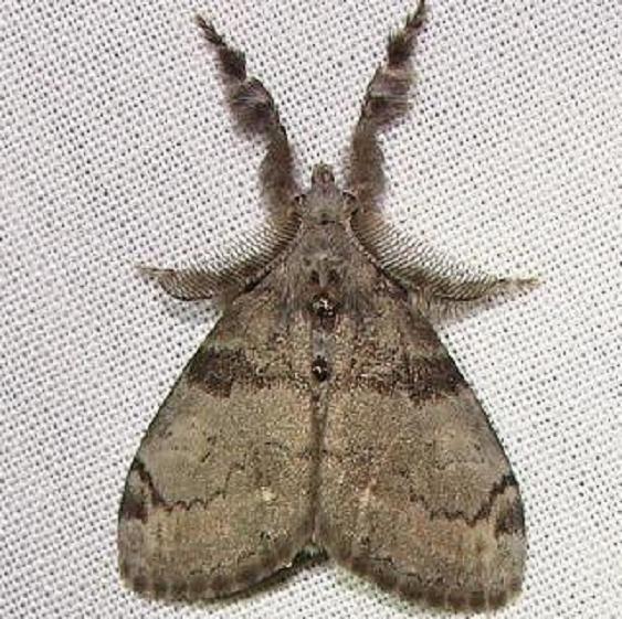 8316 White-marked Tussock Moth yard 8-12-11