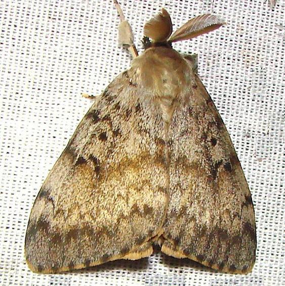 8318 Gypsy Moth male Oak Openings Oh 7-16-10