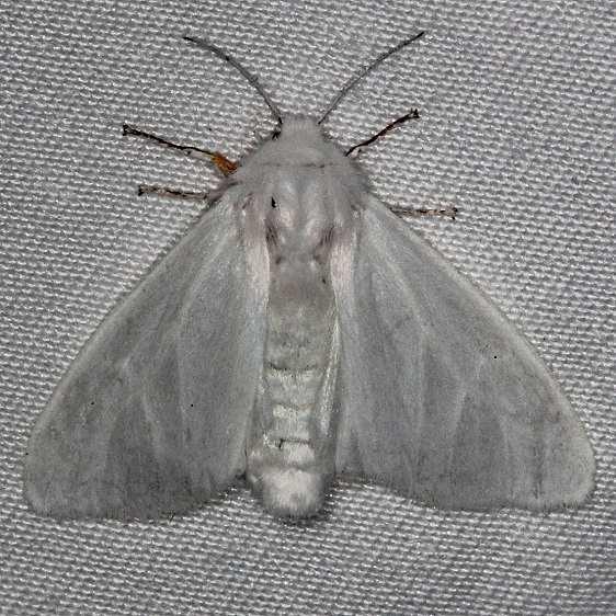 8319 Satin Moth Highland Hammock 3-4-14