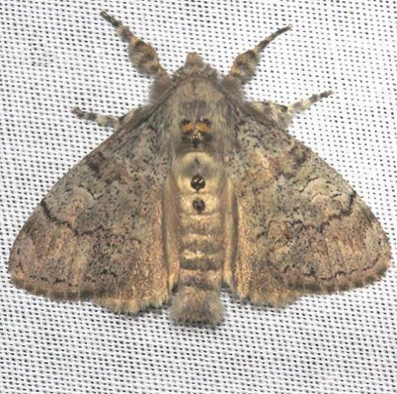 8294 Variable Tussock Moth Kissimmee Prairie St Pk 3-12-13