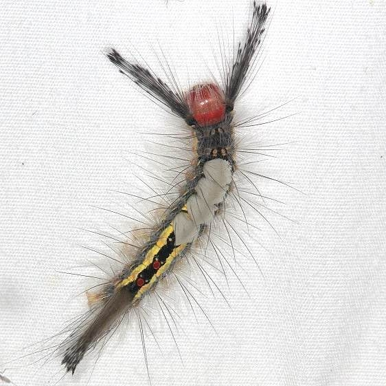 8316 White-marked Tussock Moth Caterpillar yard 8-30-14