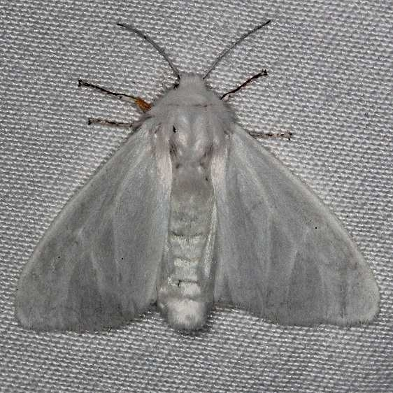 8319 Satin Moth Highland Hammock 3-4-14