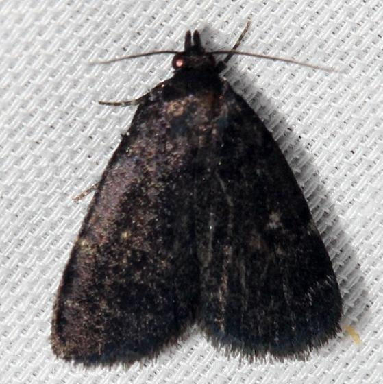 8326 Rotund Idia Moth Lake Kissimmee St Pk Fl 2-26-13