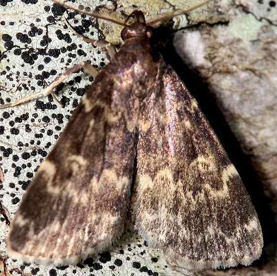 8330 Smoky Idia Moth Leslie Angel's house Tenn 8-24-12