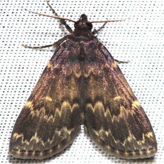 8334 Glossy Black Idia Moth yard 6-7-12