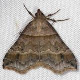 8338 Dark-banded Owlet Moth Huffman Prairie WPAFB Dayton Oh 7-27-14