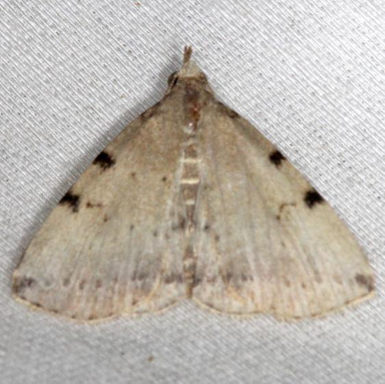 8340 Lettered Zanclognatha Moth yard 6-11-13