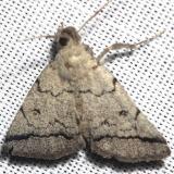 8343 Zanclognatha minoralis Alexander Springs Ocala Natl Frt 3-18-13