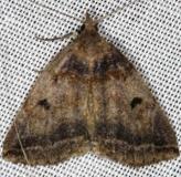 8345 Variable Zanclognatha Moth Lake of the Woods Ontario 7-19-16 (21a)_opt