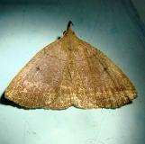8347 Dark Zanclognatha Moth Kissimmee Lake St Pk 2-23-12