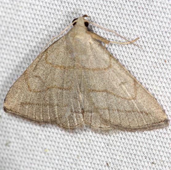 8348 Grayish Zanclognatha Moth yard 5-21-13