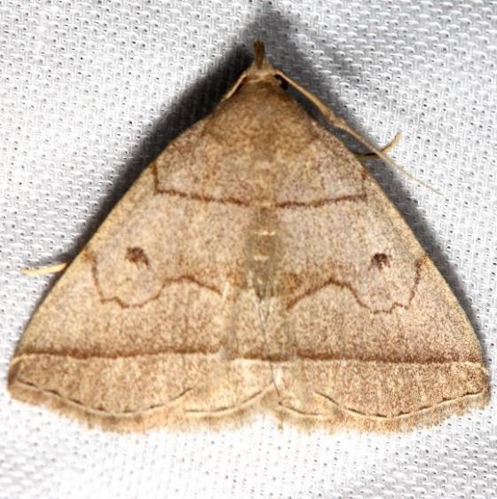 8351 Early Zanclognatha Moth Jenny Wiley St Pk 4-26-12
