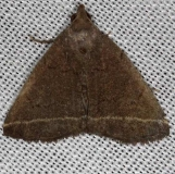8352 Yellowish Zanclognatha Moth Village Creek St Pk Texas 11-9-13