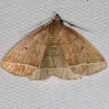 8353 Wavy-lined Zanclognatha Moth yard 8-29-15