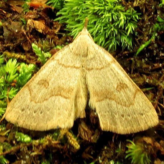 8355 Morbid Owlet Moth Rhoddy Cove Oh 5-16-13