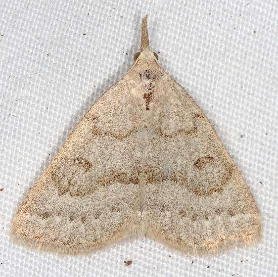 8355 Morbid Owlet Moth Thunder Lake UP Mich 6-23-14